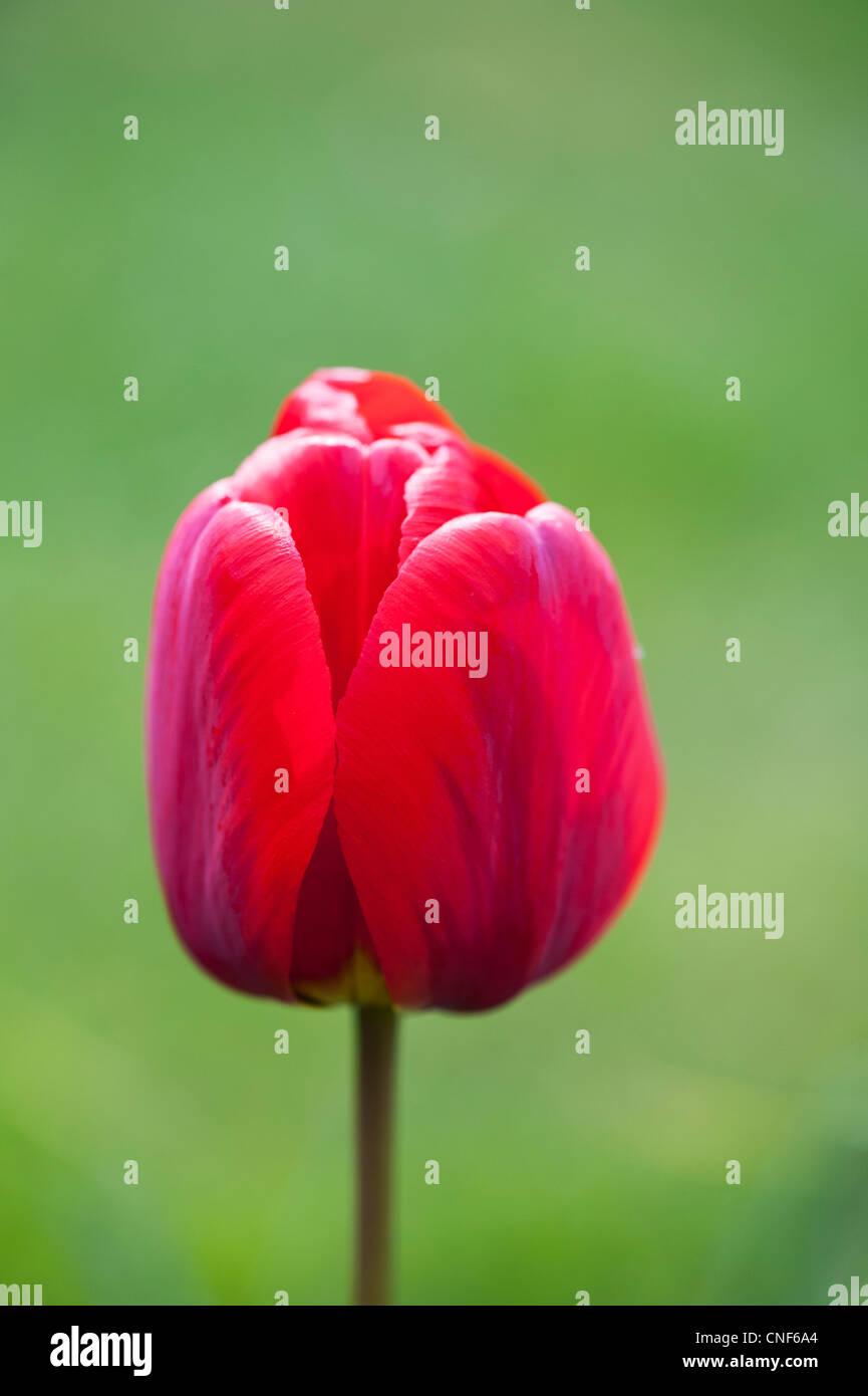 Red tulip flower contro uno sfondo verde Immagini Stock