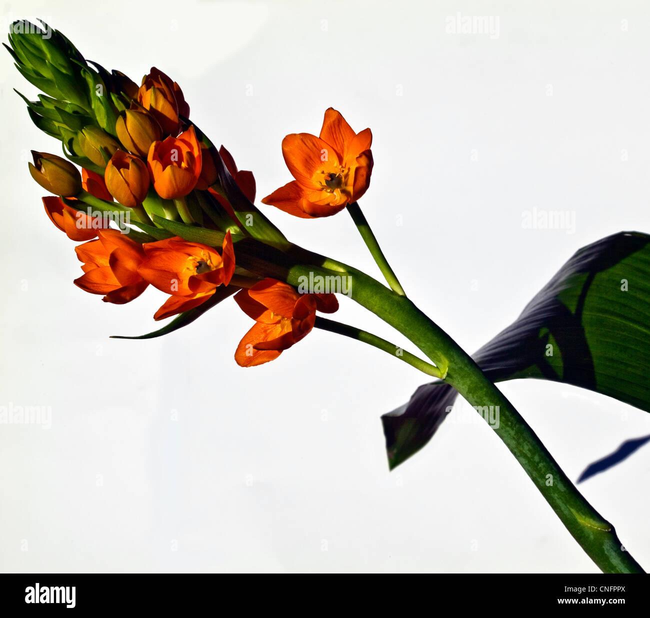 Ornithogallum dubium Immagini Stock