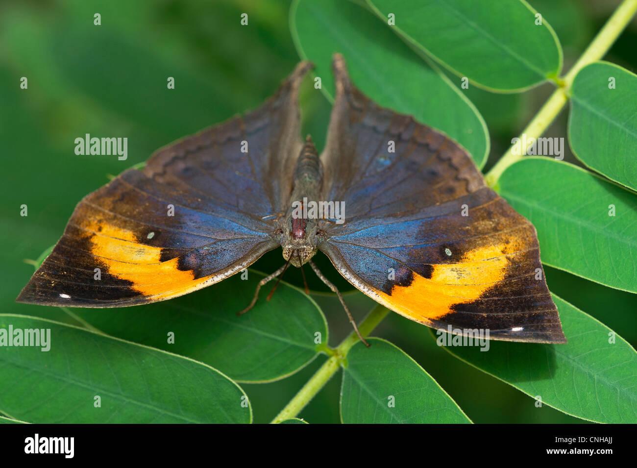 Un adulto foglia indiano elefante farfalla Immagini Stock