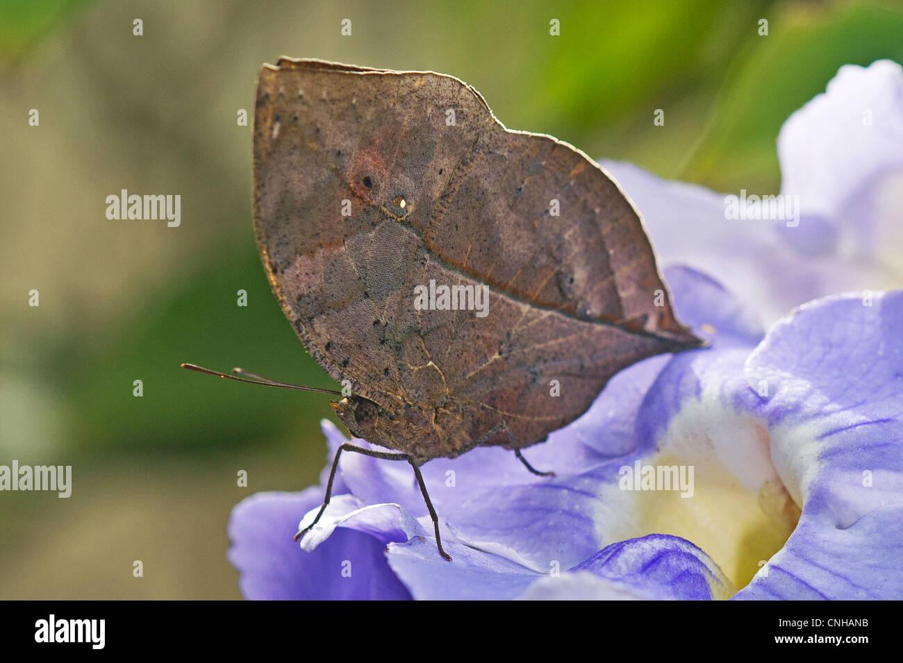 Un adulto foglia indiano butterfly con le ali ripiegate Immagini Stock