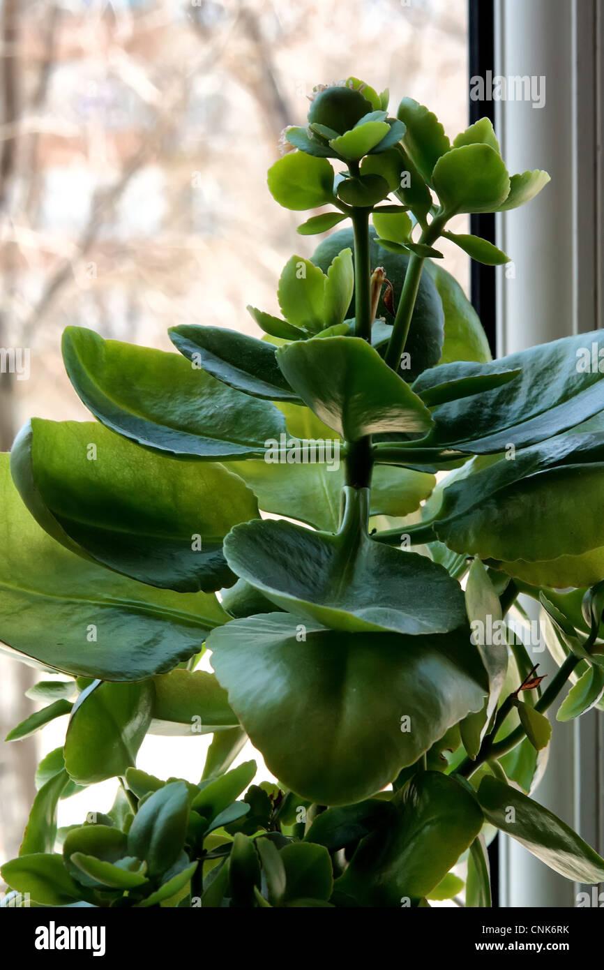 La purificazione di aria, closeup, coltivati, decorativi, carnosa, fogliame, fresche, giardinaggio, verde, crescendo, Immagini Stock