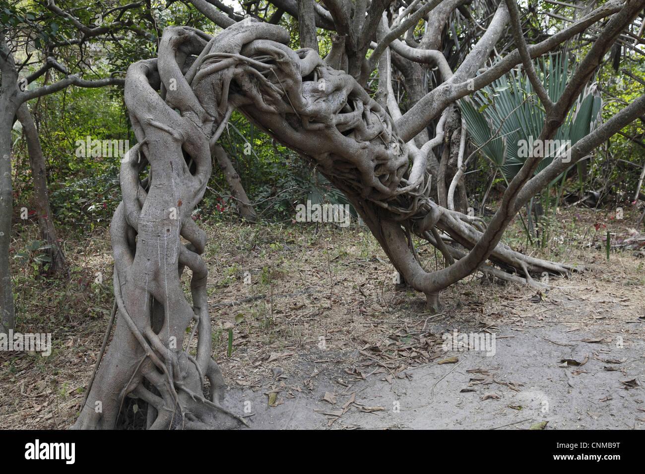 Strangler Fig (Ficus sp.) abitudine, ritorto e arcuata di crescita delle radici aeree, Gambia, gennaio Immagini Stock