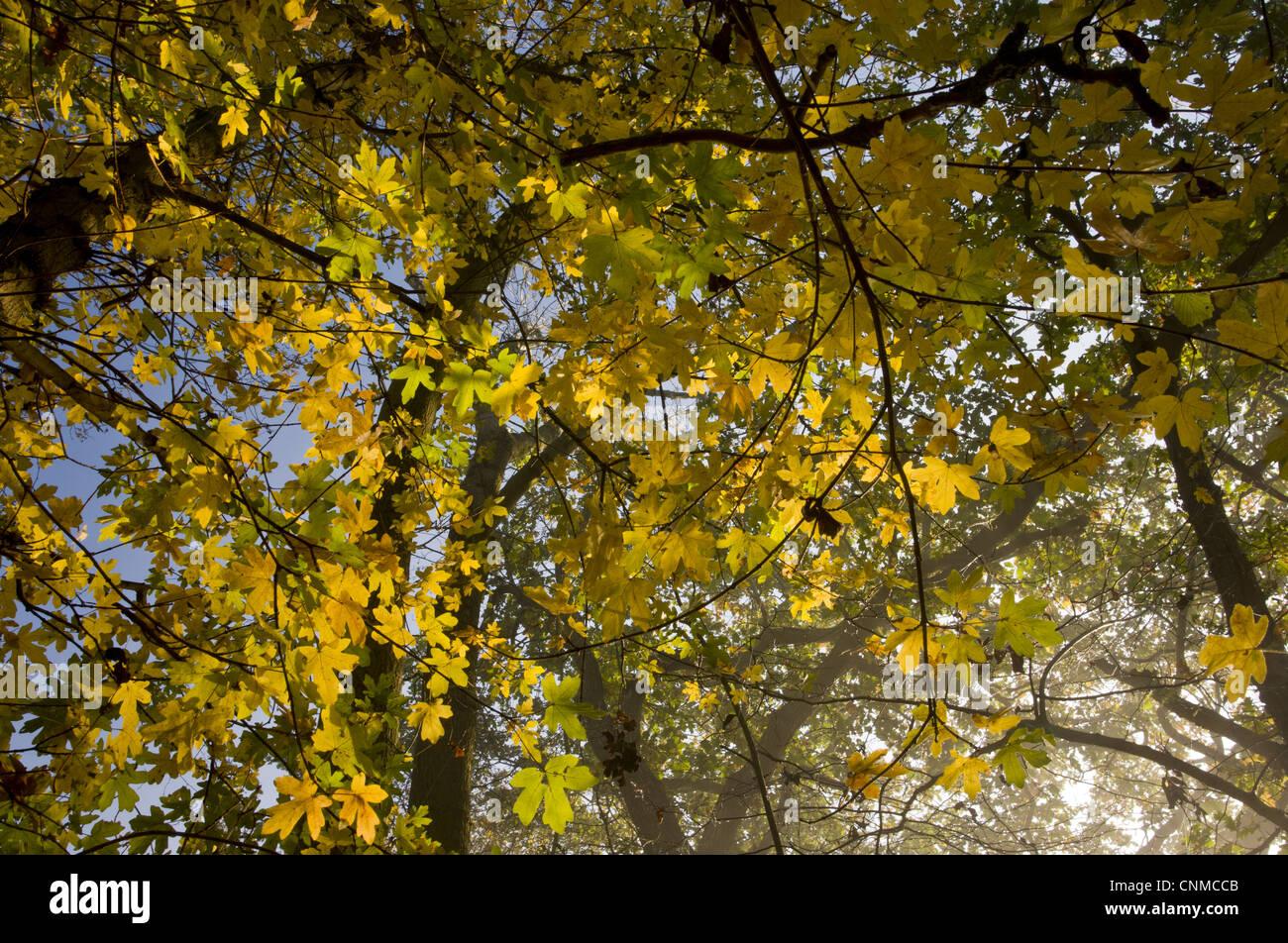 Acero Campestre Acer Campestre Lascia Colore Di Autunno Crescente