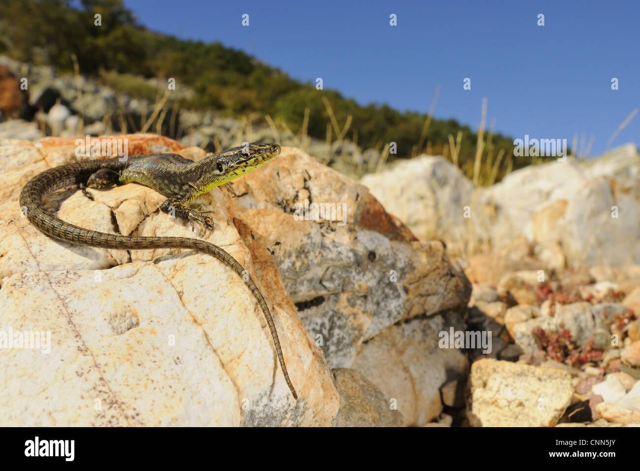Peña de Francia Rock Lizard (Iberolacerta martinezricai) adulto, crogiolarsi sulla roccia in habitat, Spagna, Immagini Stock