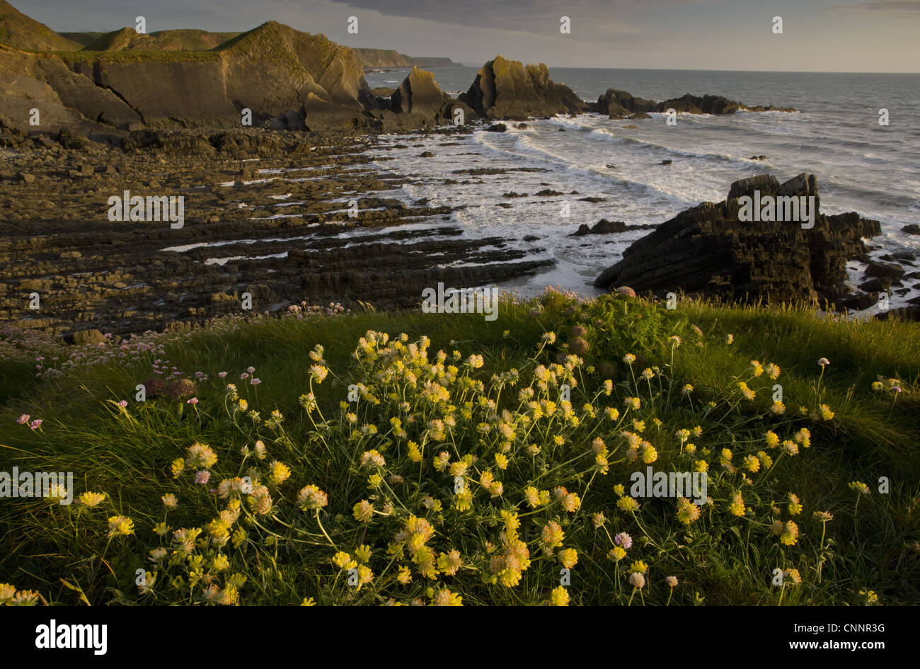 Rene-veccia (Anthyllis vulneraria) fioritura, che cresce su una scogliera, habitat, Hartland Quay, North Devon, Foto Stock