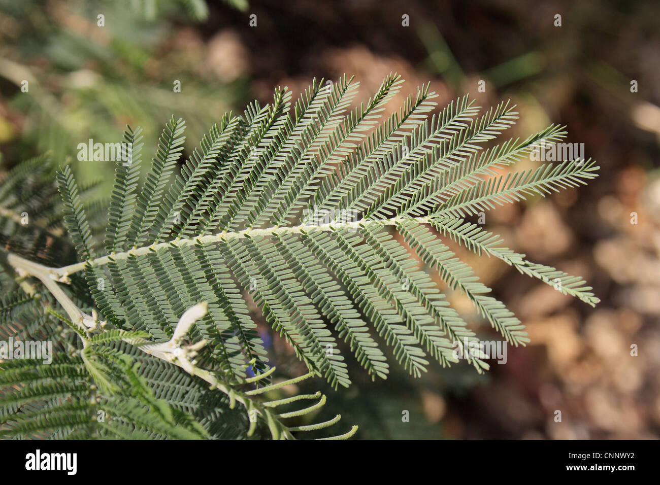 fioritura albero acacia dealbata SILVER Canniccio Giallo Mimosa fogliame Argenteo