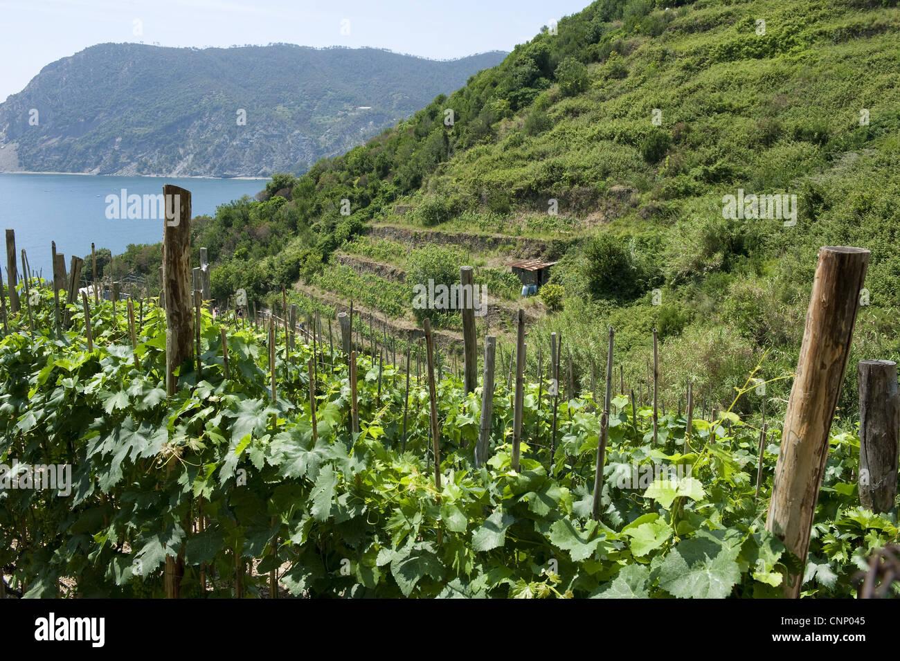 https://c8.alamy.com/compit/cnp045/vigneto-con-i-vitigni-che-crescono-su-terrazze-vicino-a-vernazza-la-spezia-le-cinque-terre-e-la-riviera-di-levante-della-liguria-italia-giugno-cnp045.jpg
