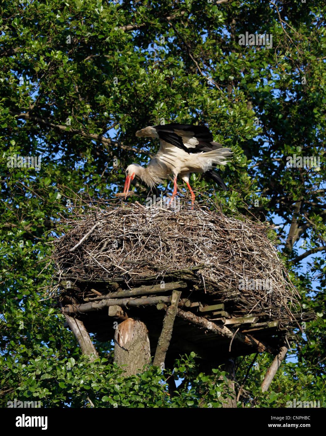 Stork costruire il nido Immagini Stock