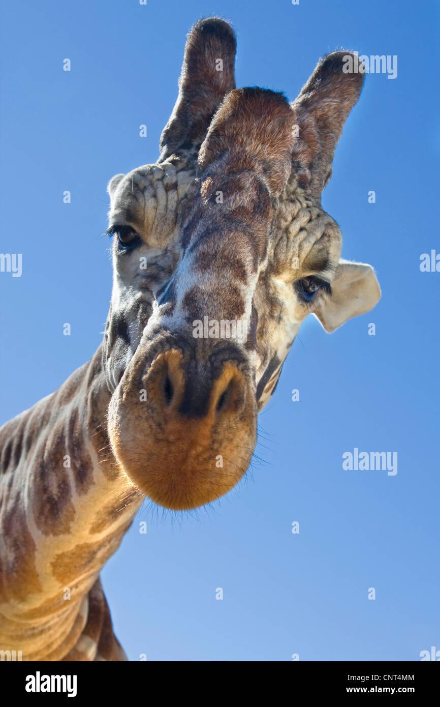 Giraffe (Giraffa camelopardalis), ritratto, dal basso Immagini Stock