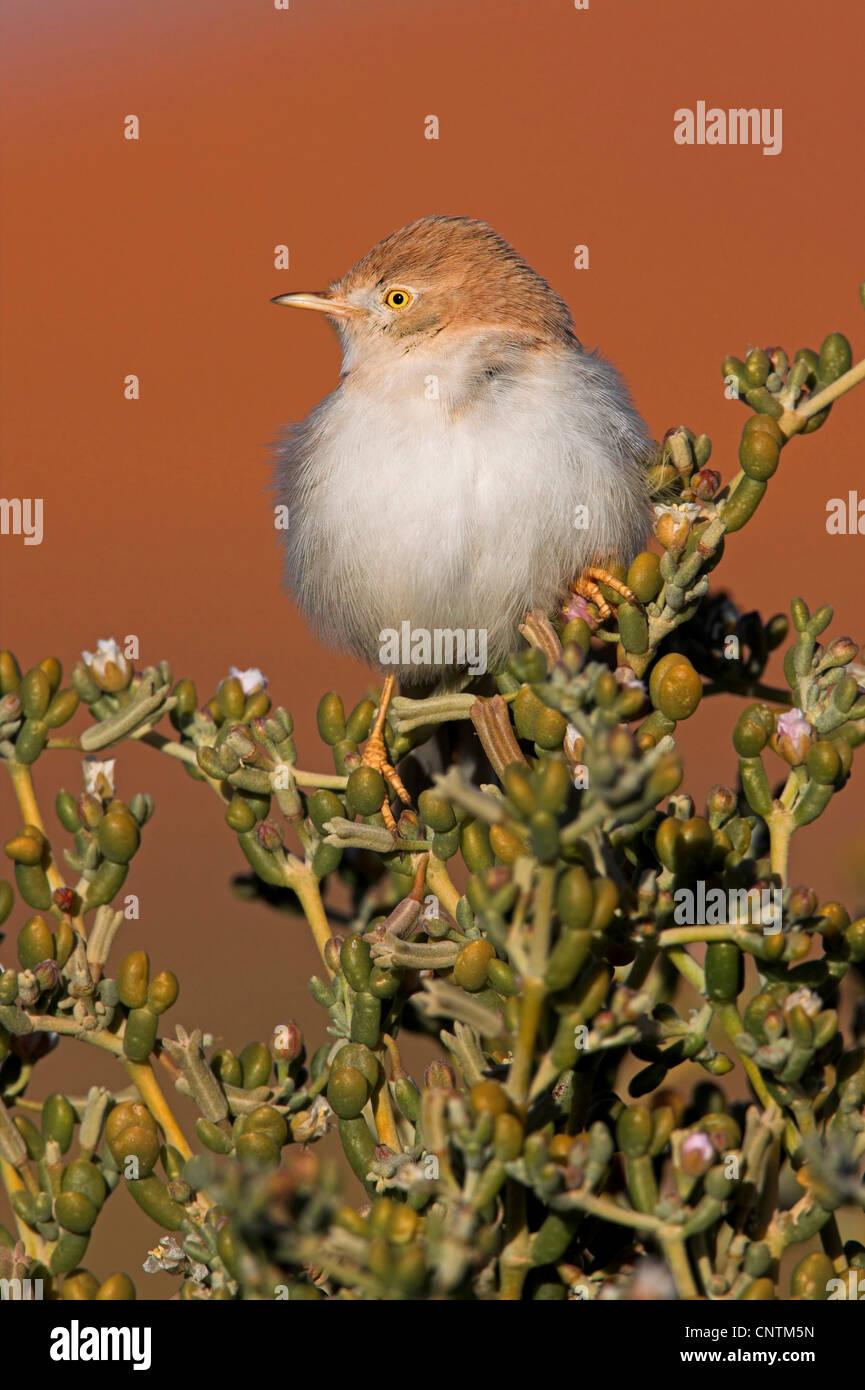 Deserto whitethroat (Sylvia nana), sulle piante succulente, Marocco Immagini Stock
