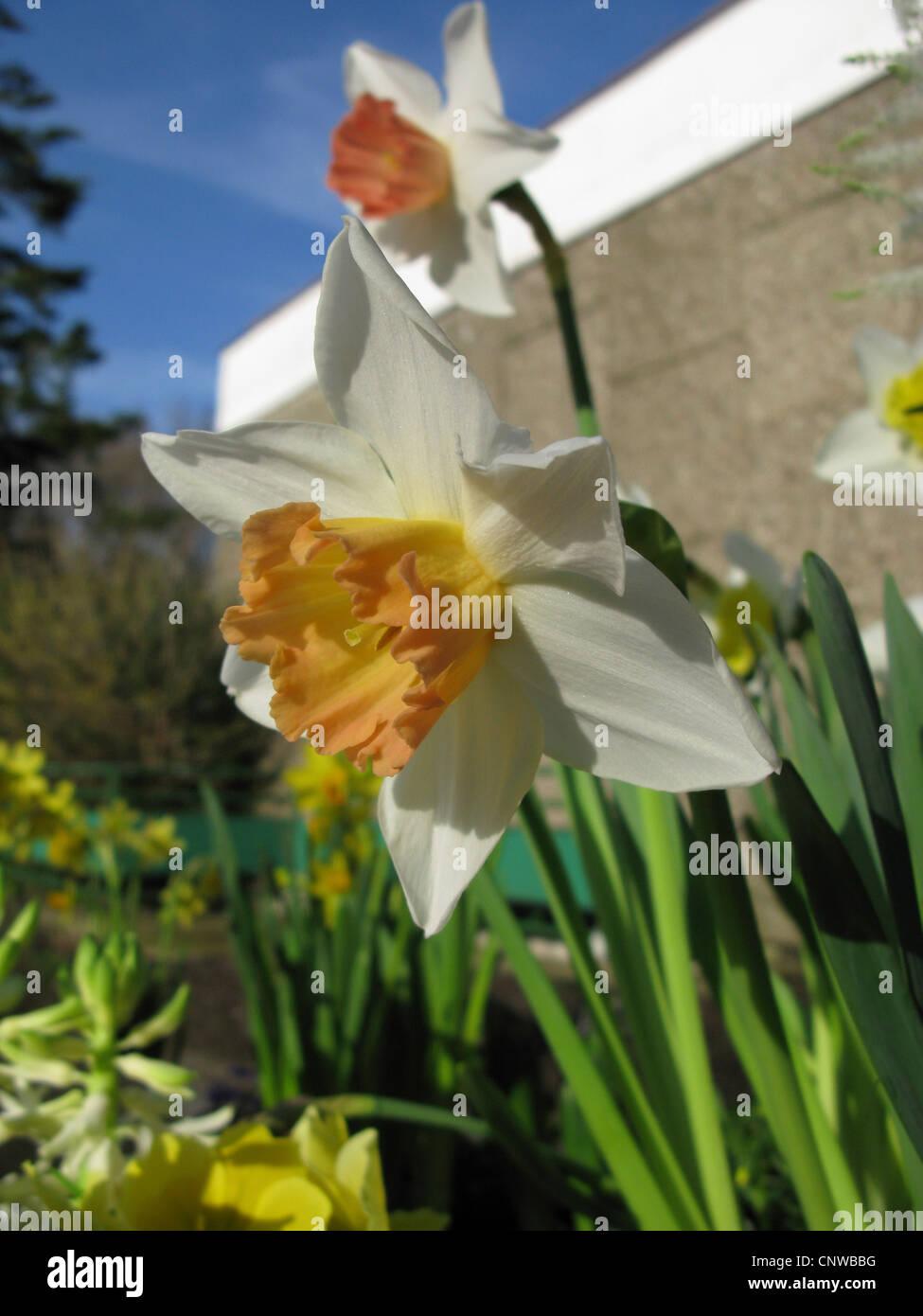 """Daffodil (Narcissus accento, Narcissus """"Accento""""), grande-cup Daffodil, cultivar Accent Immagini Stock"""