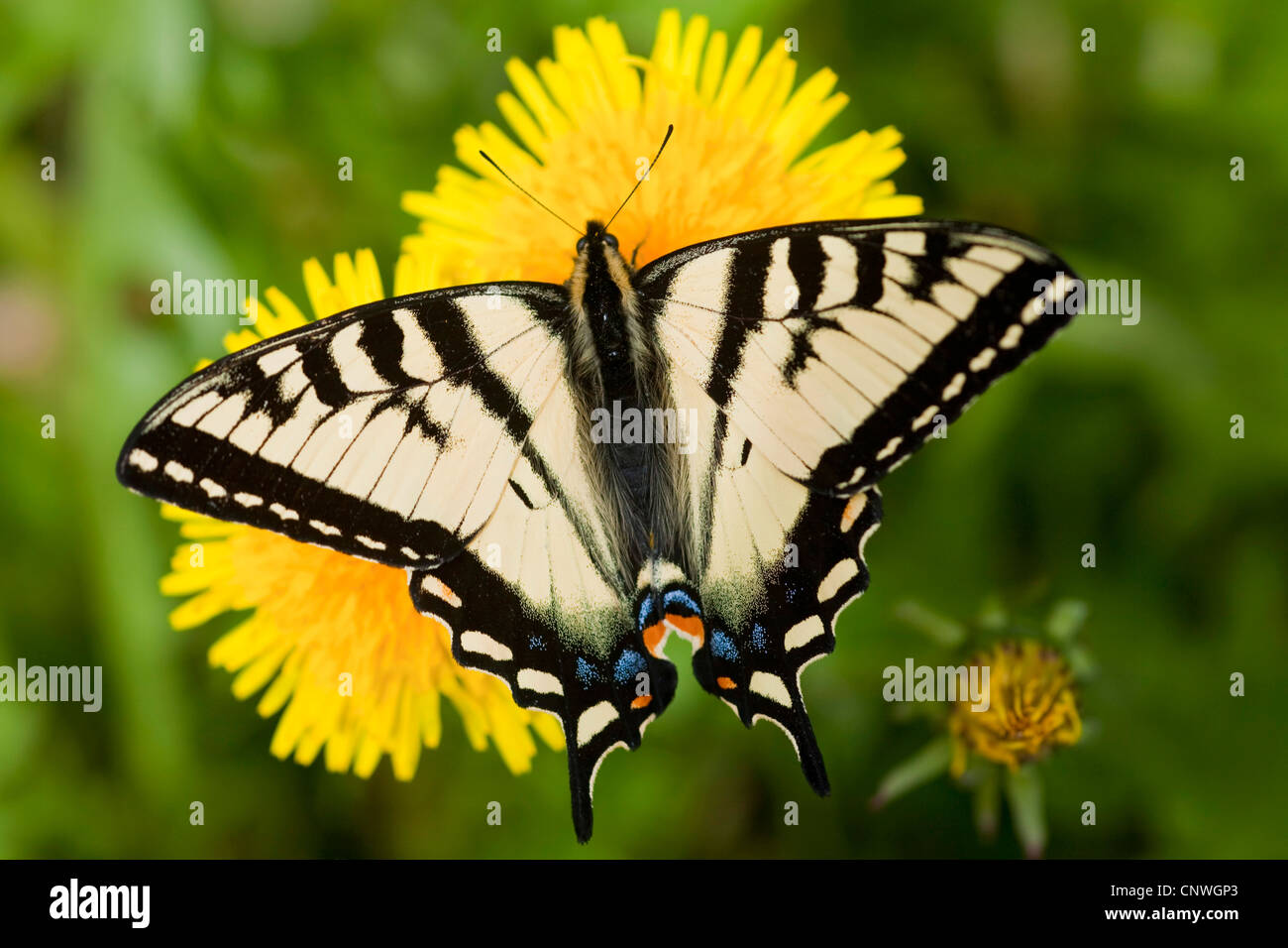 A coda di rondine di agrumi (Papilio demoleus), seduti su tarassaco, Canada, British Columbia, Mount Revelstoke Immagini Stock