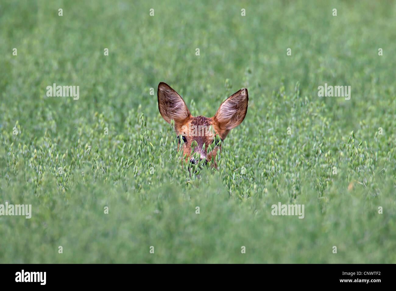 Il capriolo (Capreolus capreolus) femmina nascondere nel campo di avena, Germania Immagini Stock