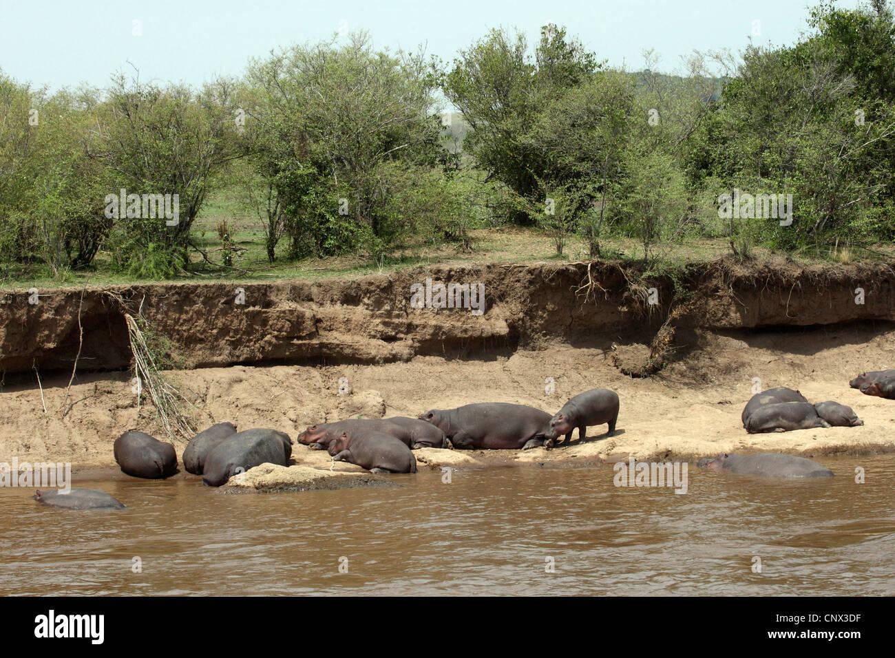 Ippopotamo, ippopotami, comune ippopotamo (Hippopotamus amphibius), allevamento in appoggio a Riverside, Kenia Masai Immagini Stock