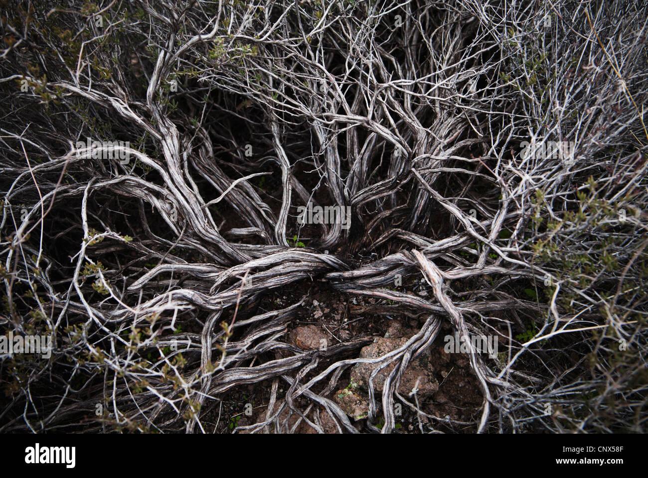 Primo piano dei rami di un arbusto del deserto, Superstition Mountains, Arizona, Stati Uniti. Immagini Stock