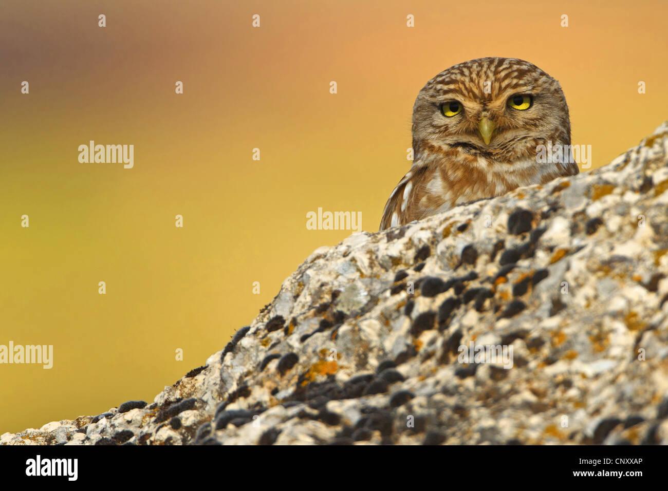 Civetta (Athene noctua), il peering da dietro una roccia, Turchia, Sanliurfa Immagini Stock