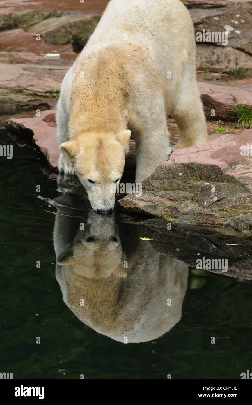 Orso polare (Ursus maritimus), pup in uno zoo Immagini Stock