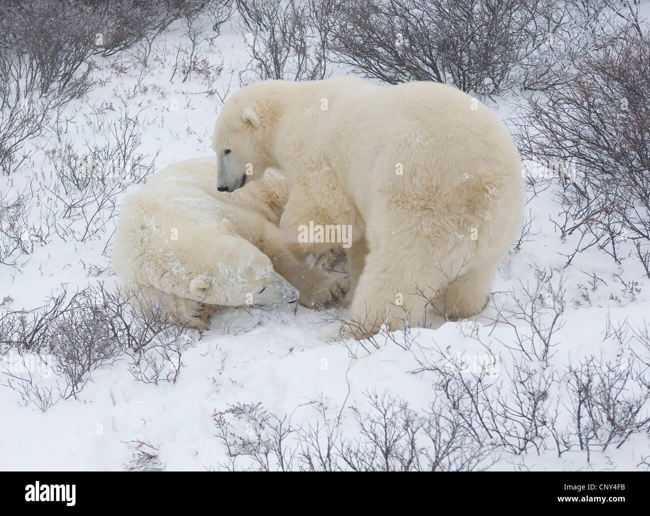 Gli orsi polari wrestling nella neve, Churchill, Canada Immagini Stock