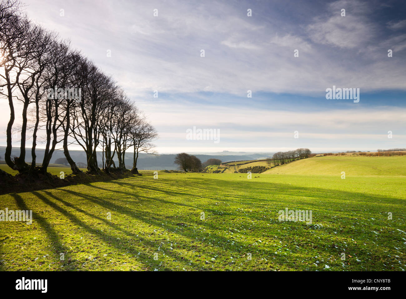 Faggio hedge nel Parco Nazionale di Exmoor, Devon, Inghilterra. Gennaio 2009 Immagini Stock