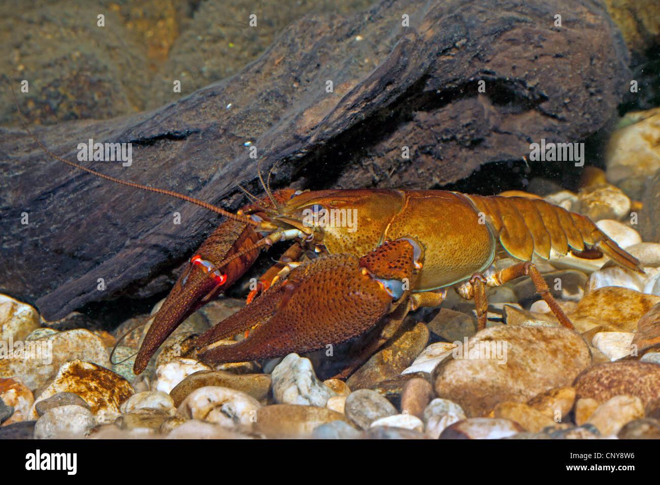 Nobile gamberi di fiume (Astacus astacus), maschio sulla massa di ghiaia Immagini Stock