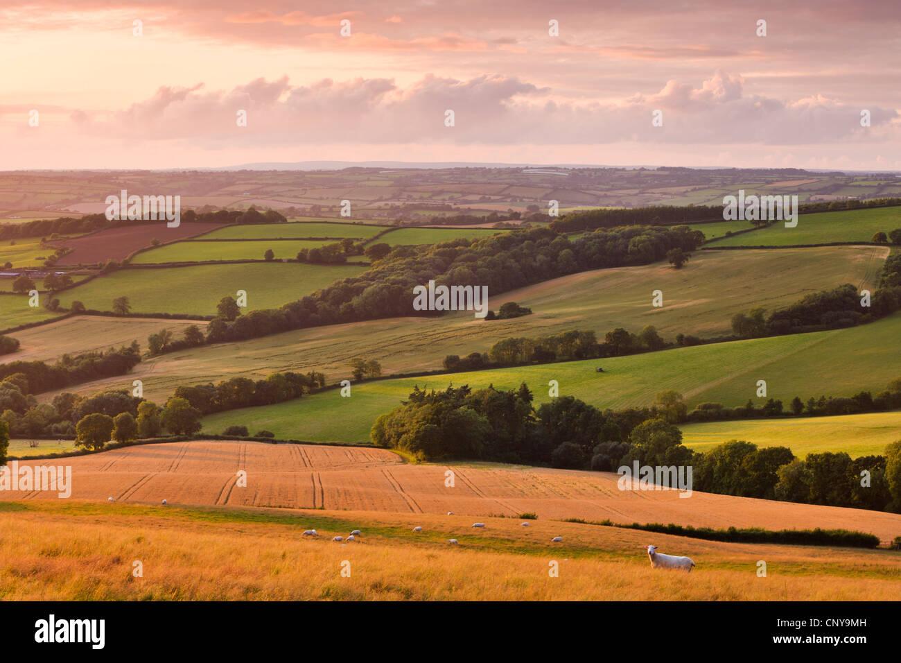 Pecore al pascolo e campi di raccolto vicino Stockleigh Pomeroy, metà Devon, Inghilterra. In estate (Luglio) Immagini Stock