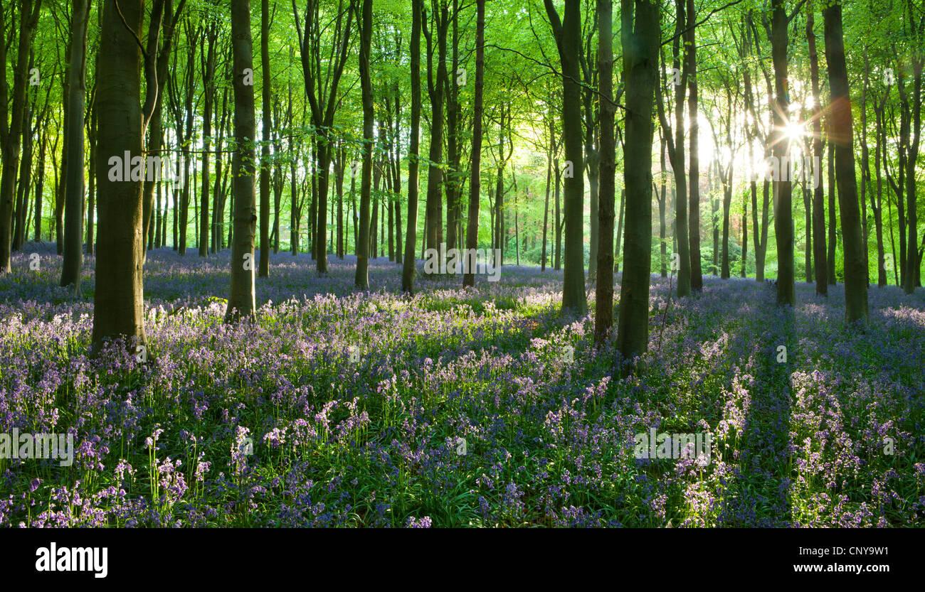 La mattina presto la luce del sole in West boschi bluebell woodland, Lockeridge, Marlborough, Wiltshire, Inghilterra. Immagini Stock