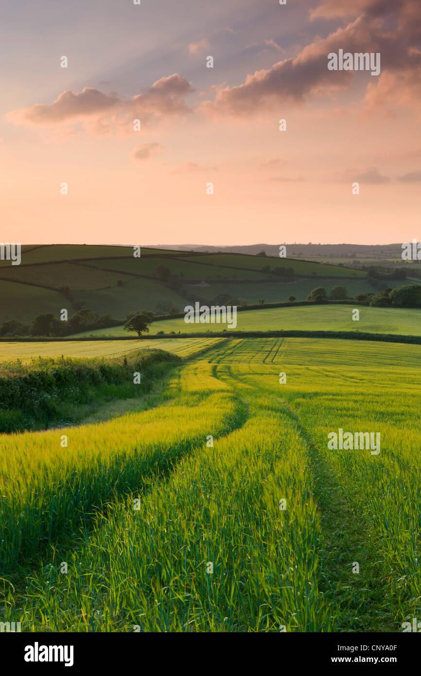 Le colture estive che cresce in un campo nei pressi di classe Lanreath, Cornwall, Inghilterra. Per il periodo estivo Immagini Stock