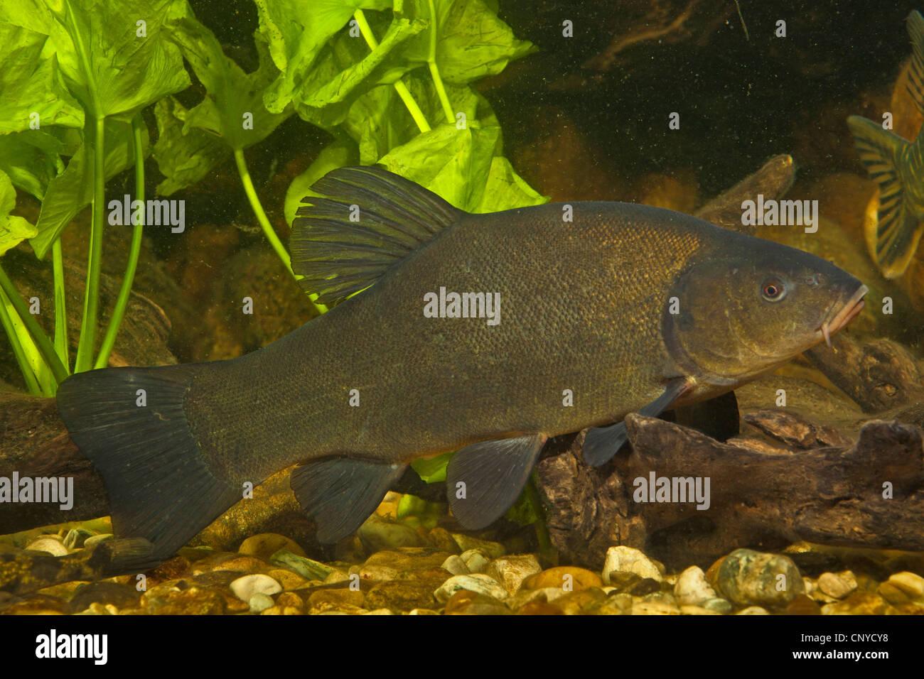 Tinca (Tinca tinca), spawner presso la massa di ciottoli di acqua Immagini Stock