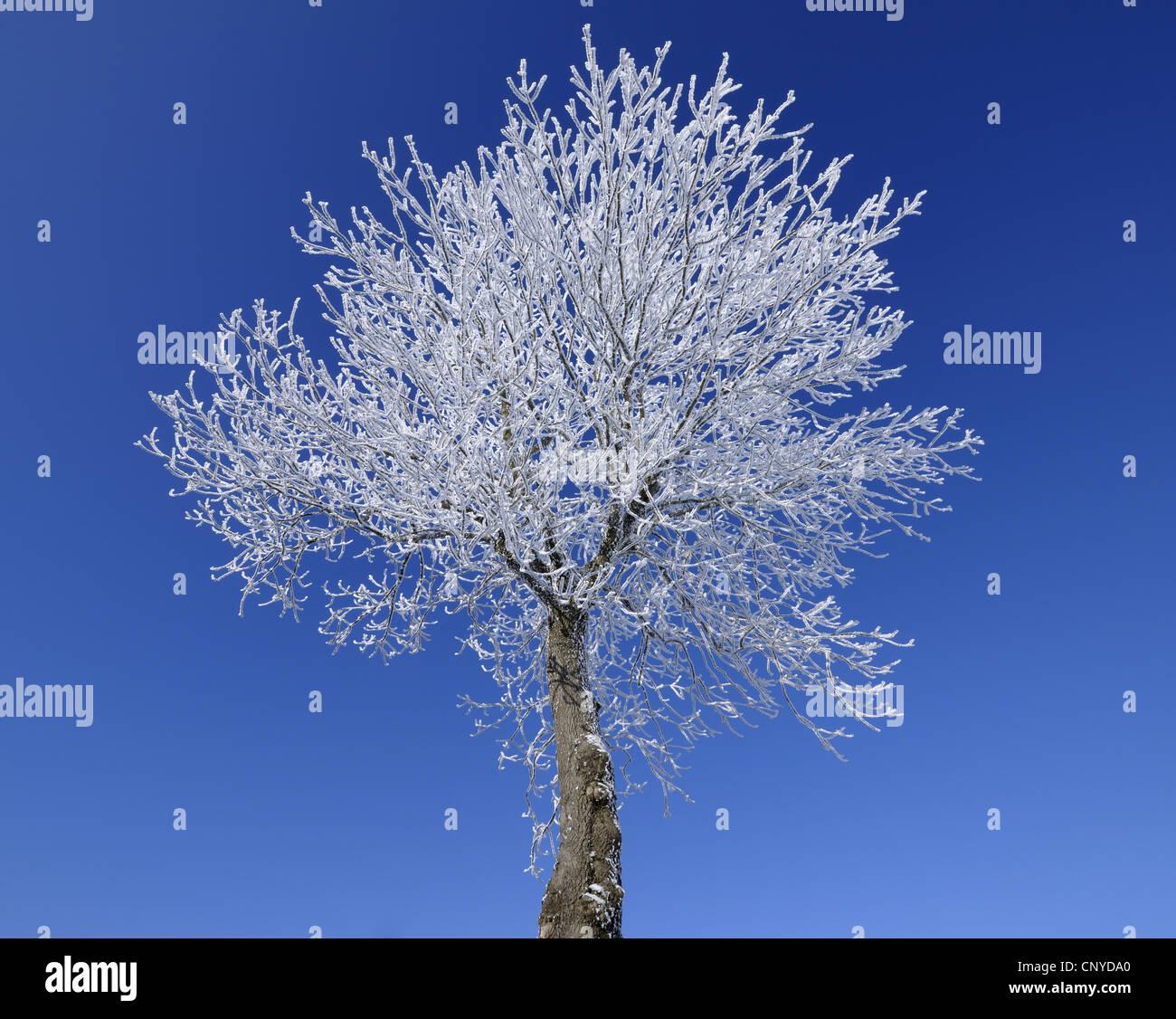 Singel tree con trasformata per forte gradiente gelo e cielo blu, Germania, Hesse, Rhoen Wasserkuppe, Immagini Stock