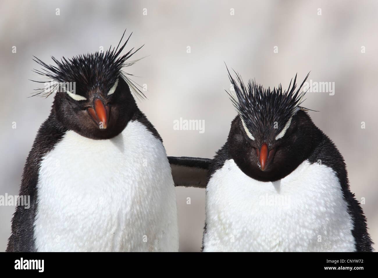 Pinguino saltaroccia (Eudyptes chrysocome), abbracciando, Argentina, Isola dei Pinguini Foto Stock