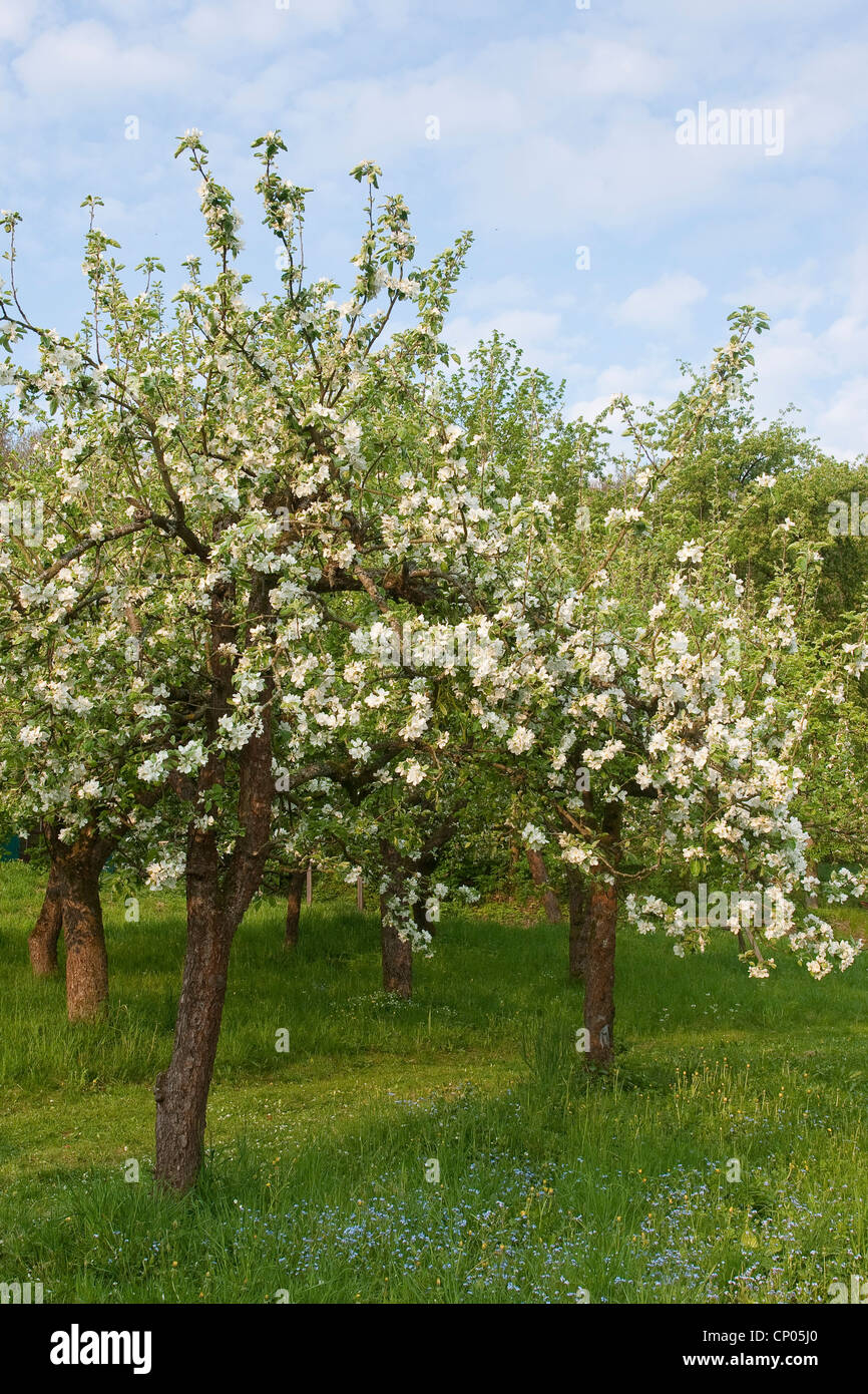 Apple tree (malus domestica), i meli in fiore, Germania Immagini Stock