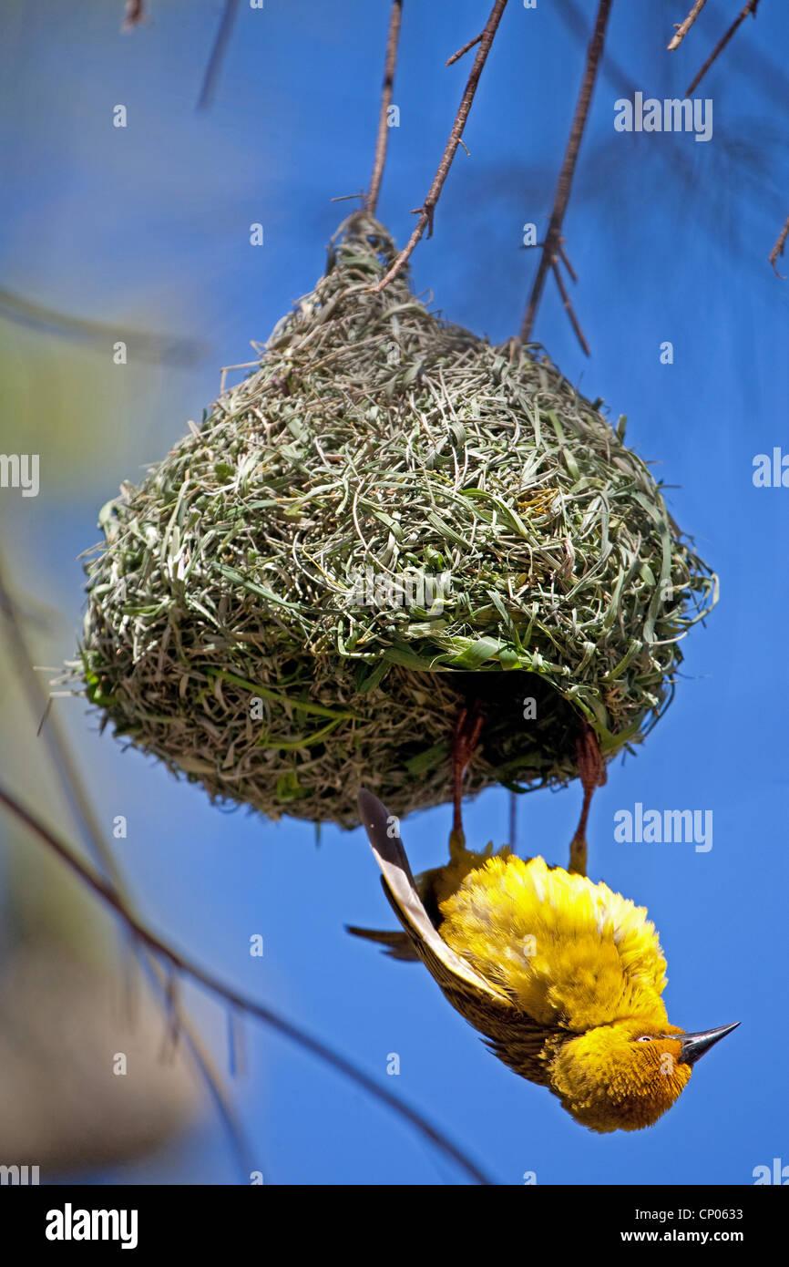 Giallo uccello tessitore presso il suo nido, Sud Africa, Western Cape, Namaqualand, Bitterfontein Immagini Stock