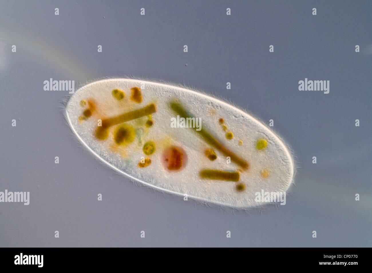 Cilate (Frontonia leucas), ciliato dell'ordine Peniculia con incorporato il verde e il blu delle alghe Immagini Stock