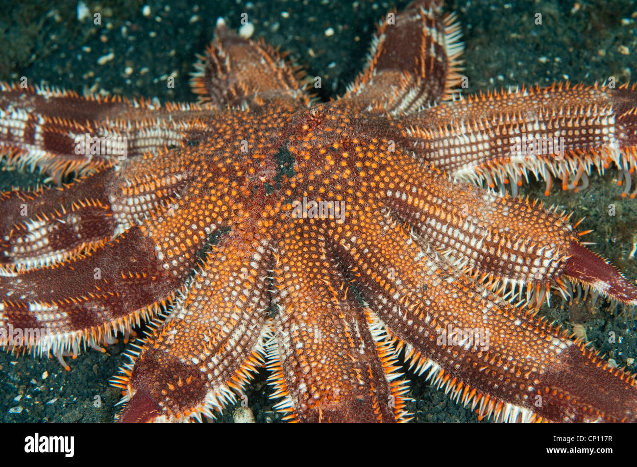 Multi armati di stelle marine Luidia sp., Sulawesi Indonesia Immagini Stock