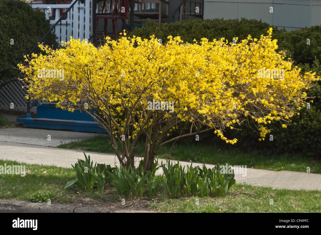 Fiori Gialli Ornamentali.Fiori Gialli Di Forsitia Bush In Piena Fioritura Oleaceae