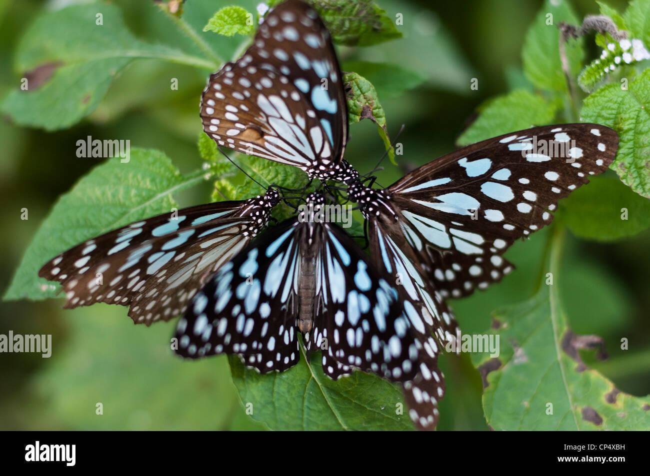 Blue Tiger farfalle al Parco Nazionale di Keoladeo,l'India Immagini Stock