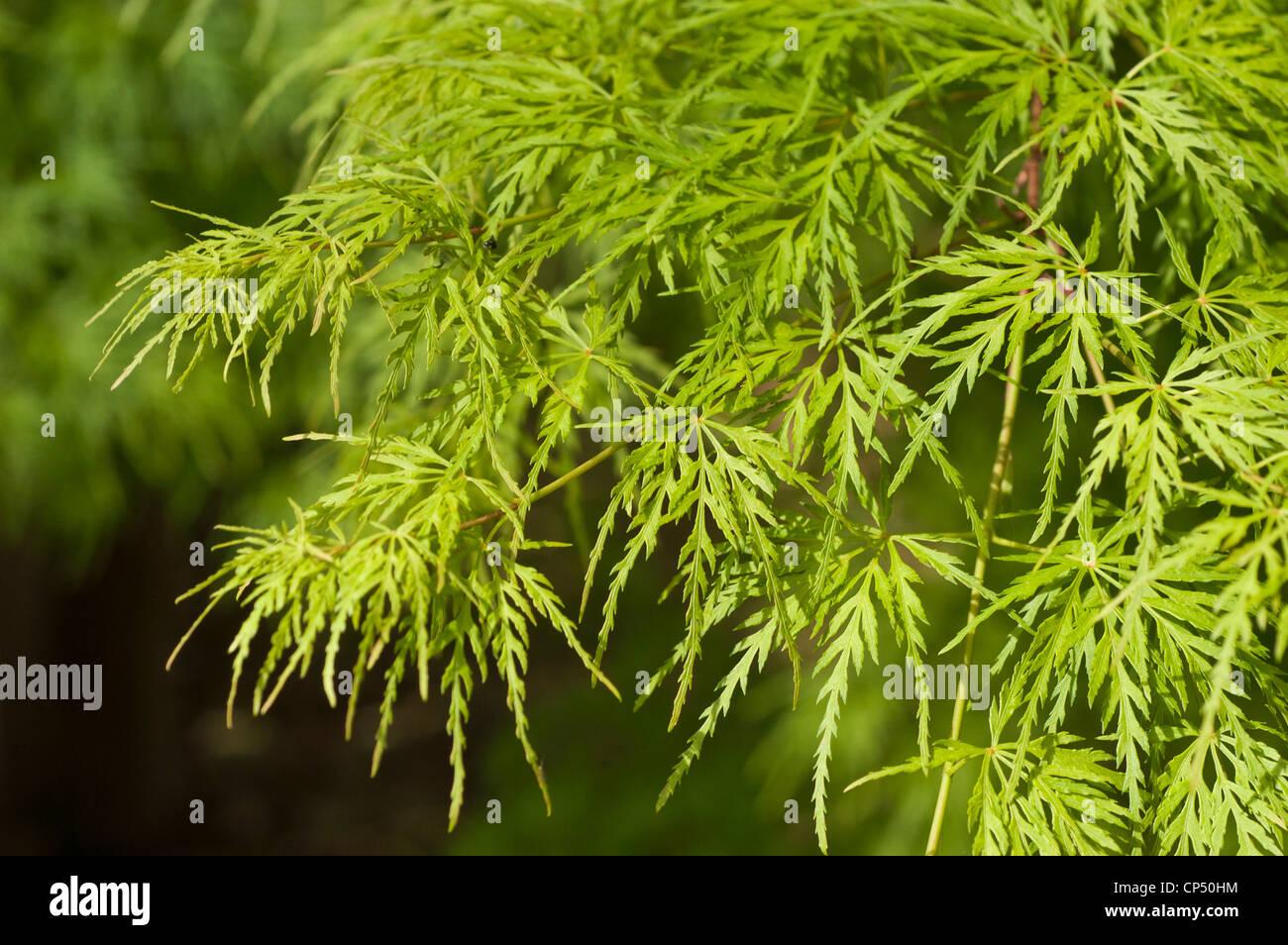 Acero Giapponese Verde verde foglie disseccate, foglie di acero giapponese, palm