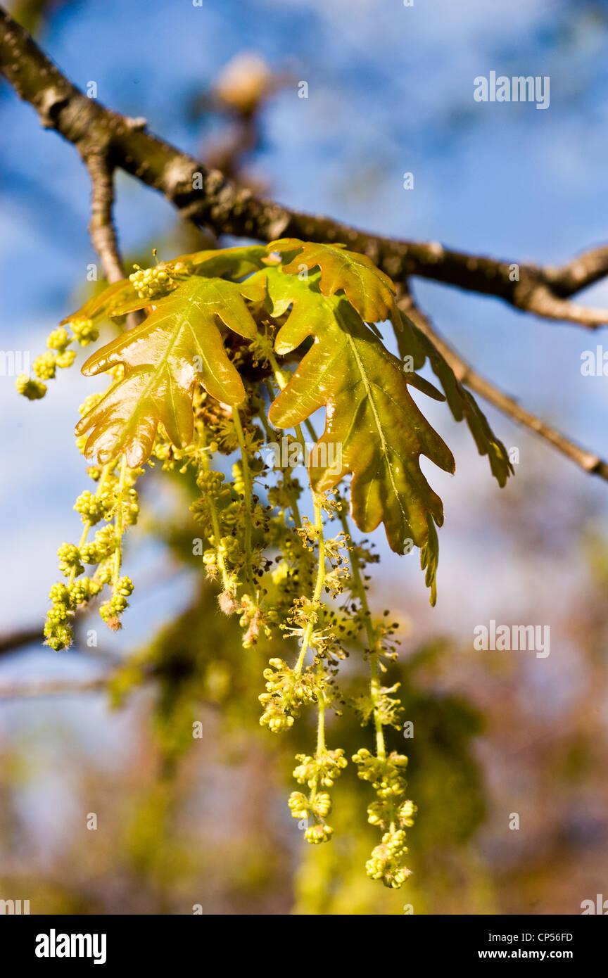 Fiori Quercia.Giovani Foglie E Fiori Del Nord Della Quercia Rossa Quercus Rubra
