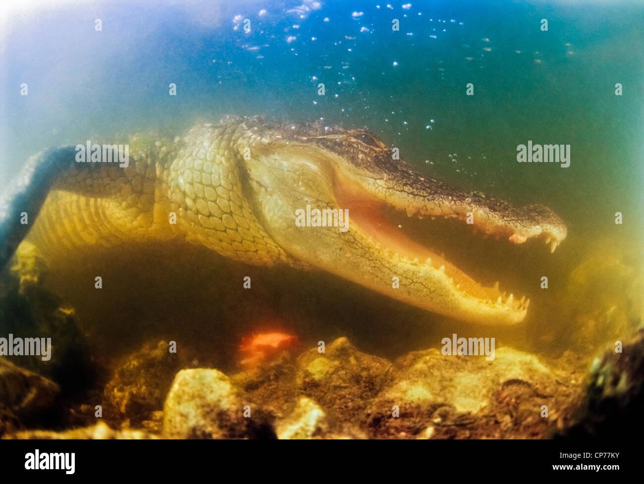 Il coccodrillo americano con ganasce agape Immagini Stock