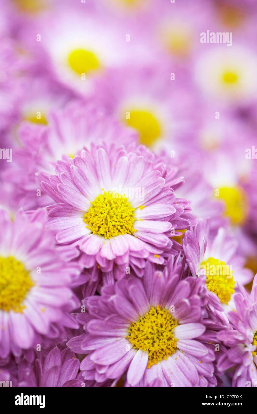 Crisantemo cultivar, crisantemo, Viola. Foto Stock