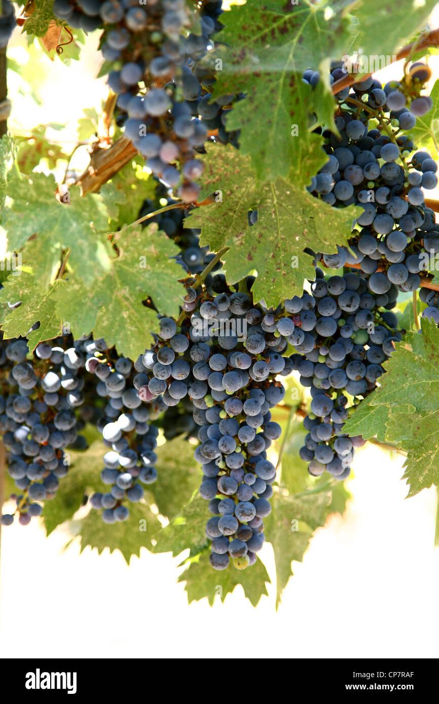 Uva sulla vite CHATEAU MONTELENA WINERY 06 Ottobre 2011 Immagini Stock
