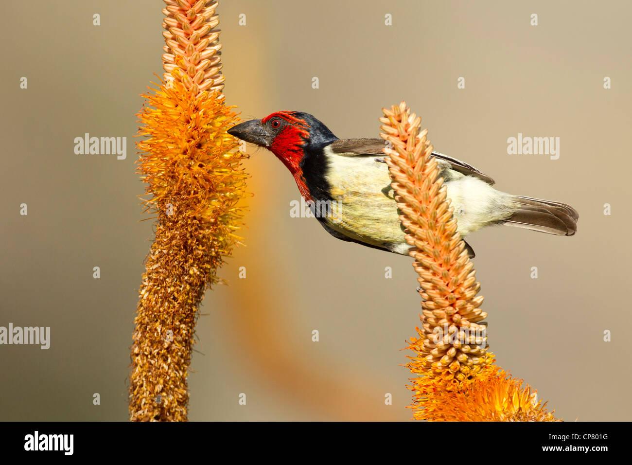 Collare nero Barbet (Lybius torquatus) alimentare il nettare dei fiori di Aloe, Kruger Park, Sud Africa Immagini Stock