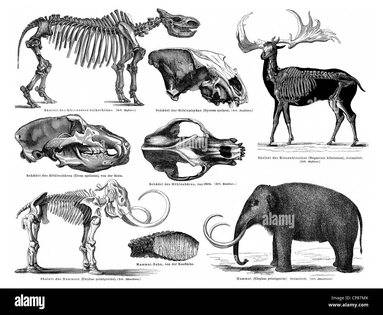 Animali e scheletri formano il periodo Pleistocene, mammut, giant cervi, orso delle caverne, grotta iena, Rinocerus Immagini Stock
