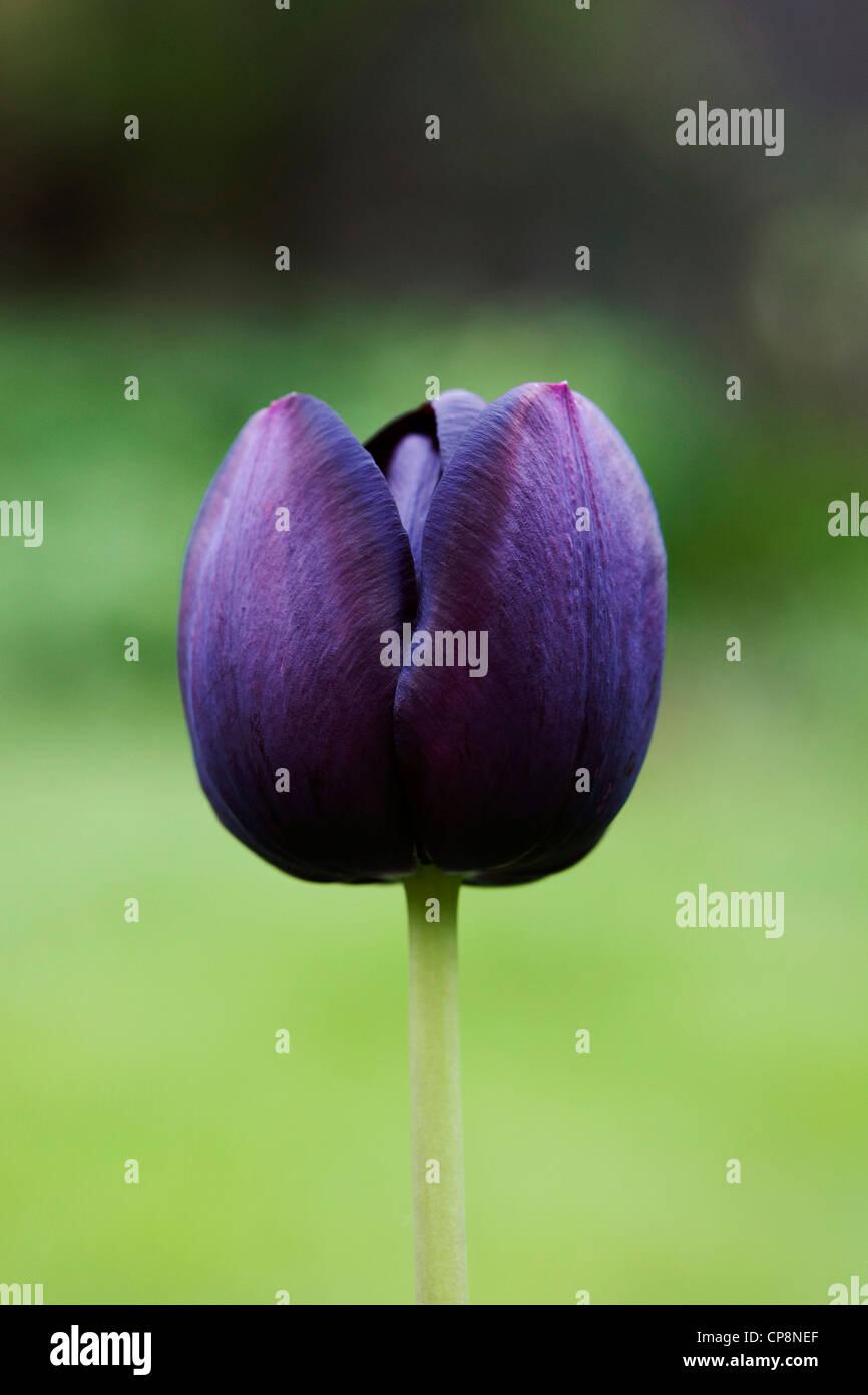 """Unico Tulipa """"Regina della notte"""". Immagini Stock"""