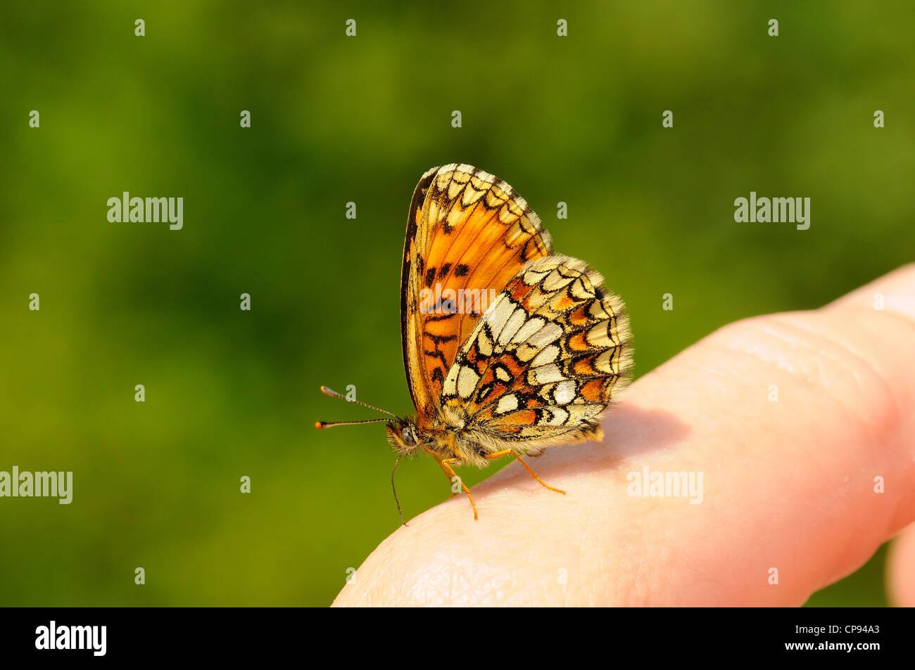 Heath Fritillary Butterfly (Mellicta athalia) alimentazione su minerali sul dito umano, Kent, Regno Unito Immagini Stock
