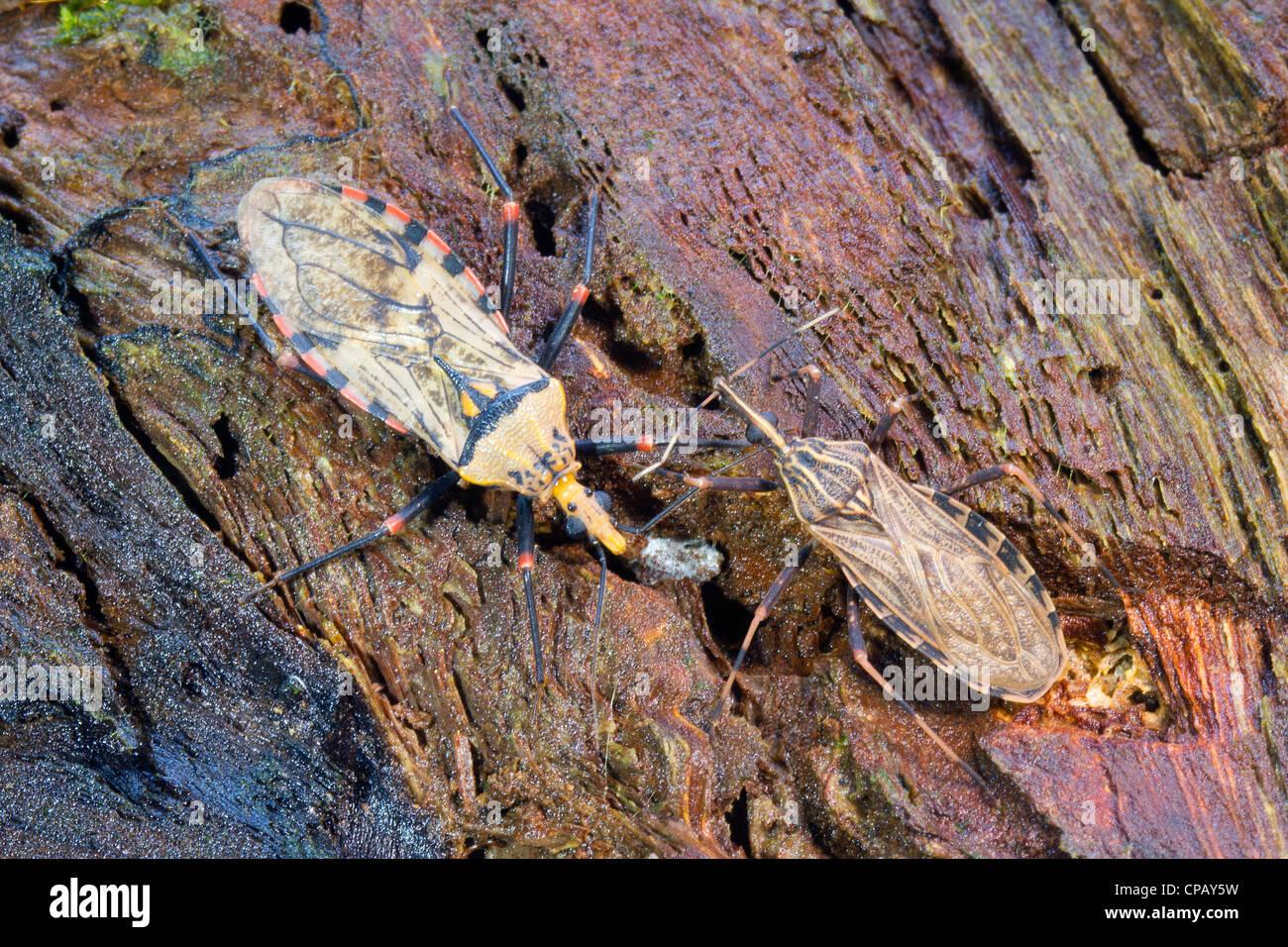 Kissing Bug (Triatoma sp.) il vettore per la malattia di Chagas Immagini Stock