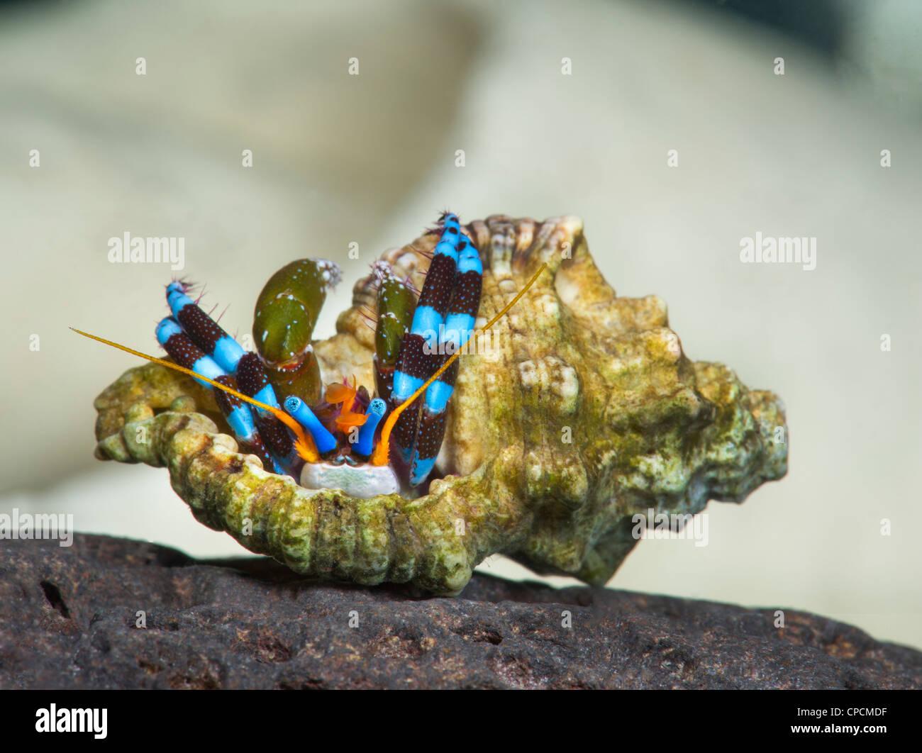 Piccolo piccolo granchio eremita CALCINUS ritratto in studio einsiedlerkrebs krebs sfondo bianco rosso blu granchi Immagini Stock