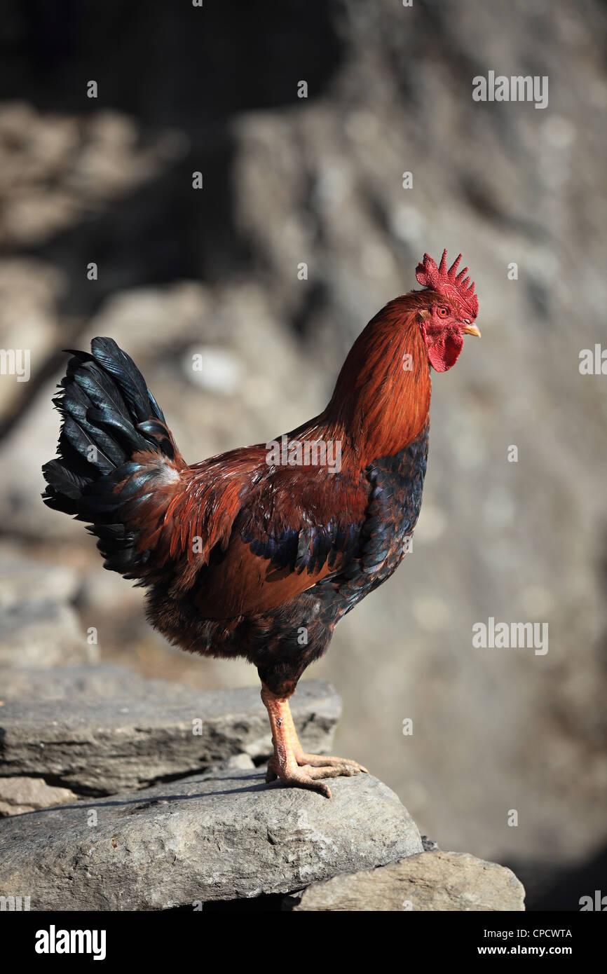 La Rooster nelle colline del Nepal Himalaya Immagini Stock