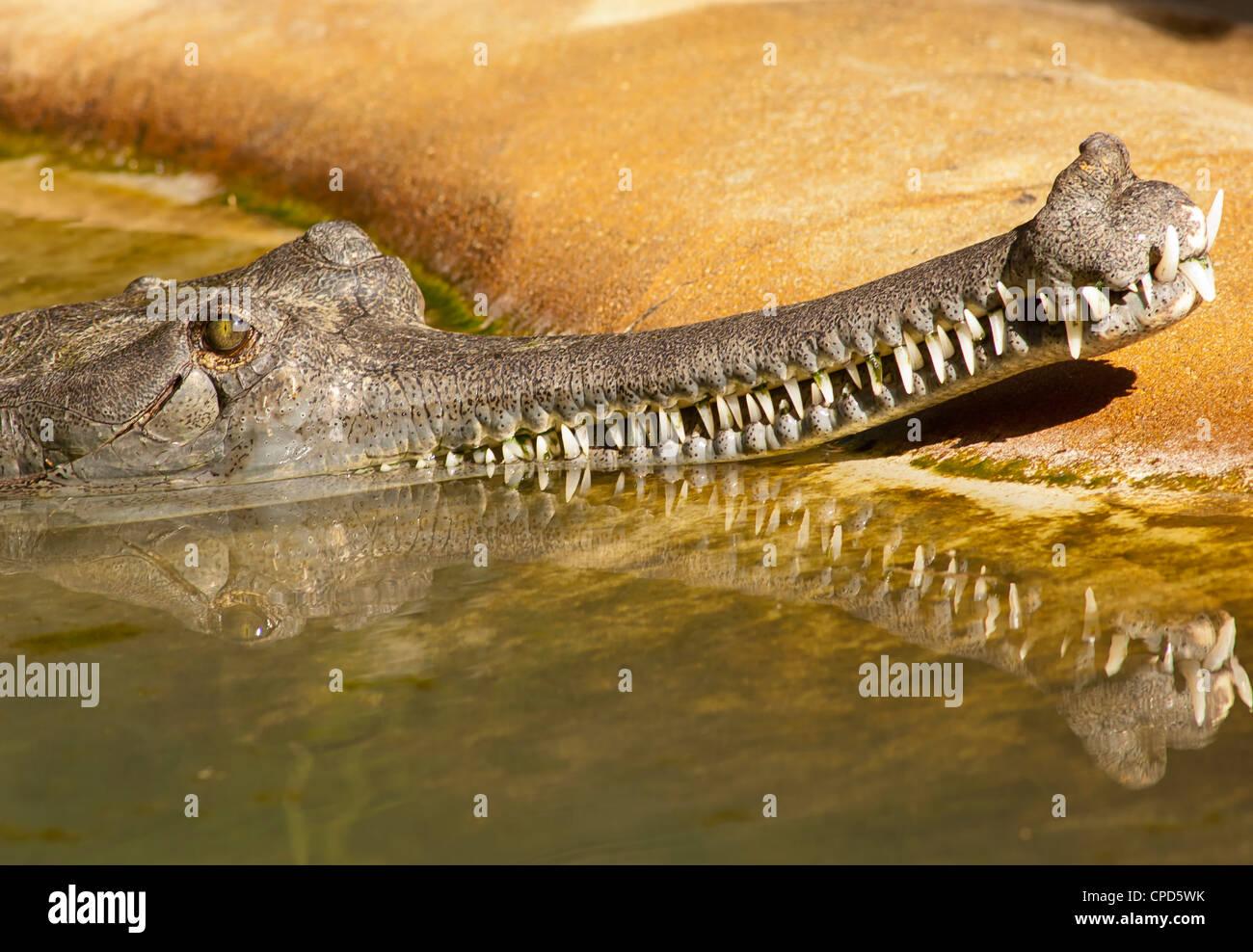 I gharial (Gavialis gangeticus) è un coccodrilli della famiglia Gavialidae che è nativo per il subcontinente Immagini Stock