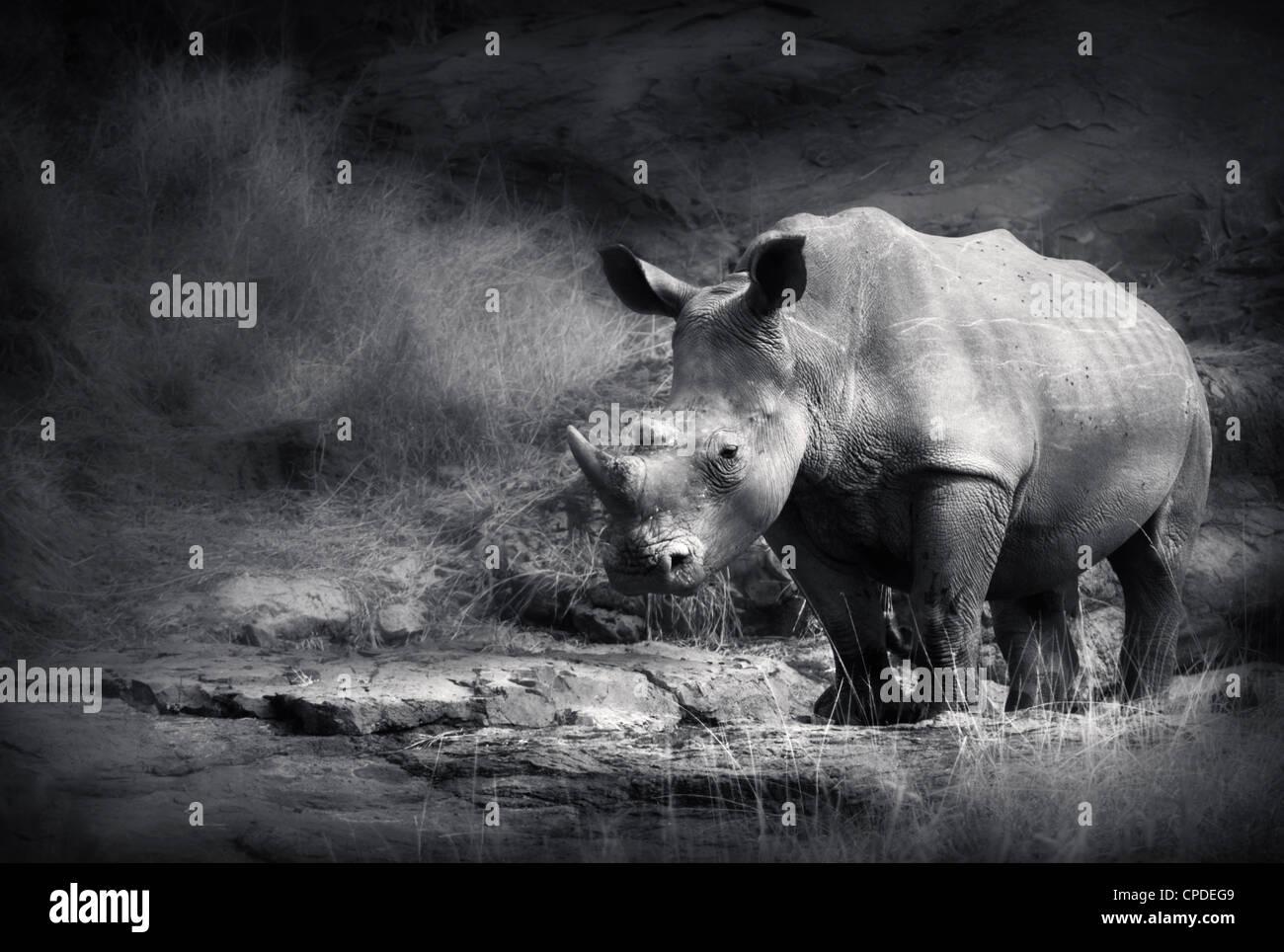 Rinoceronte bianco (lavorazione artistica) Immagini Stock